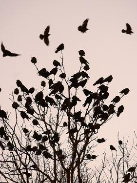 Crows Fly Over a Tree Where Others are Already Camped for the Night at Dusk in Bucharest Romania