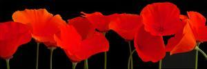 Vermilion Poppies by Crum