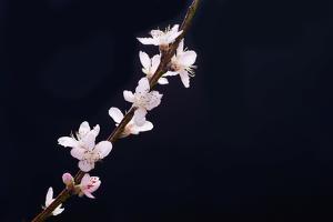 Cherry Blossom Sakura Isolated Black Background by crystalfoto