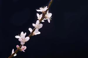 Cherry Blossom Sakura Isolated Black Background by crystalfoto