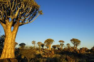 Desert Landscape at Sunrise with Granite Rocks and a Quiver Tree, Namibia by crystalfoto