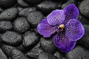 Purple Orchid Flower and Stones in Water Drops by crystalfoto