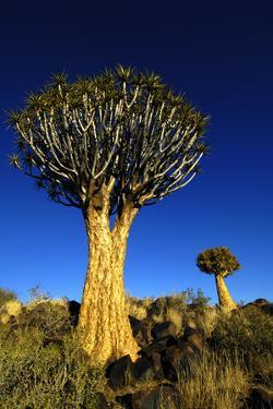 Quiver Tree at Sunrise in Namibia, Africa by crystalfoto