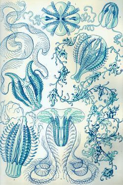 Ctenophorae Nature by Ernst Haeckel