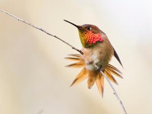 Allen's Hummingbird, Selasphorus Sasin by Cultura Science/Jouko van der Kruijssen