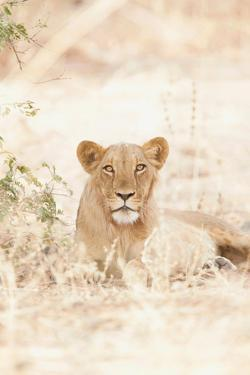 Lions in the Extreme Heat of Waza National Park, in the North of Cameroon by Cultura Travel/Philip Lee Harvey