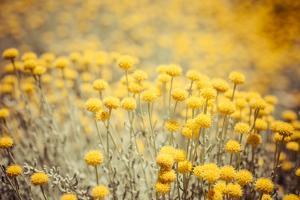 Field Flowers/Buttercup by Curioso Travel Photography