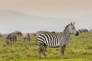 Zebra in National Park. Africa, Kenya by Curioso Travel Photography