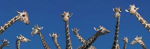 Curious Giraffes (Concept) Kenya Africa