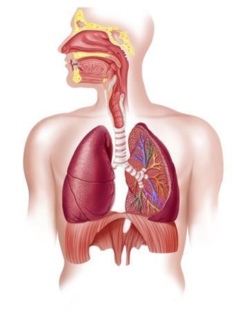 Cutaway Diagram of Human Respiratory System