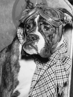 Cute Wrinkled Boxer Dog Dressed-Up in Checked Scarf and Goggles