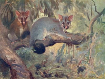 Animal, Phalanger 1909