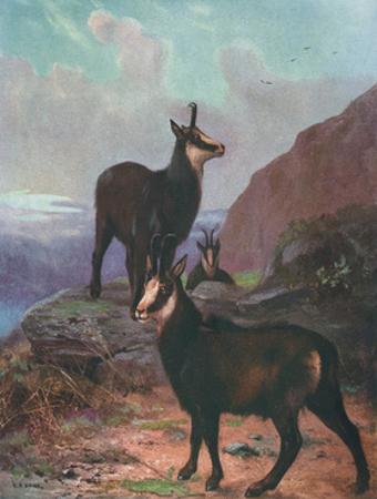 Animals, Chamois, Swan