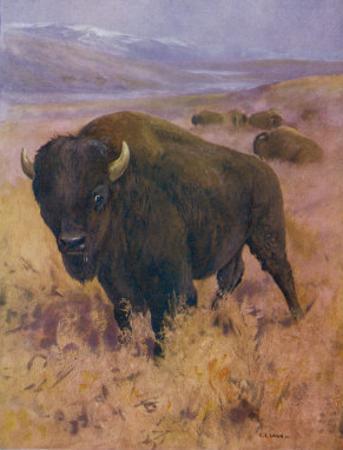 Bison Bison American Bison or Buffalo