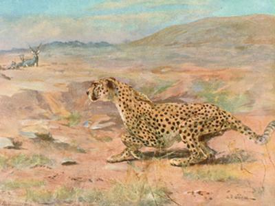 Cheetah in the Wild