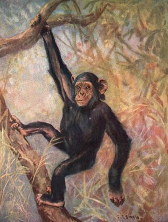 Chimpanzee, Wild Beasts