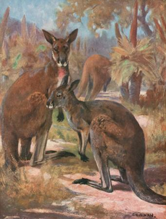 Kangaroos 1909