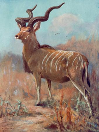 Kudu, Cuthbert Swan
