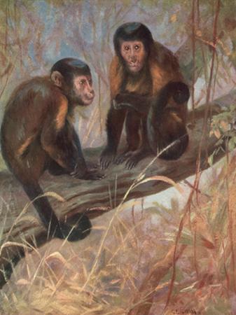 Monkeys, Capuchins, Swan