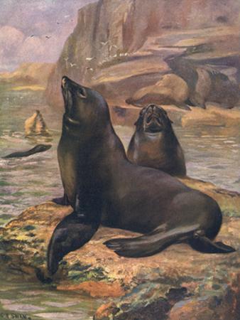 Sea Lions 1909