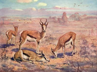Springbok, Cuthbert Swan