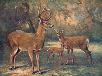 Virginian Deer, Wild Bst