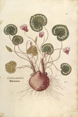 Cyclamen (Cyclaminus) by Leonhart Fuchs from De Historia Stirpium Commentarii Insignes (Notable Com