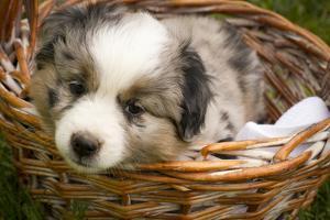 Six-Week-Old Blue Merril Australian Shepherd Puppy Curled Up in a Wicker Basket by Cynthia Classen