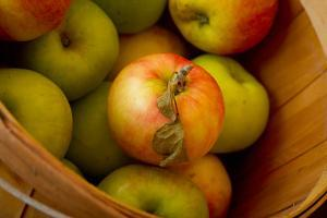 Wooden Bucket Filled with Freshly Picked Gravenstein Apples from a Local Oregon Farm by Cynthia Classen