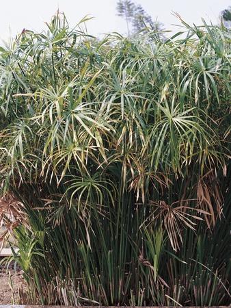 https://imgc.allpostersimages.com/img/posters/cyperaceae-papyrus-plant_u-L-PPBIKD0.jpg?artPerspective=n
