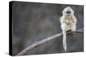 A Golden Snub-Nosed Monkey Infant Perches in a Highland Forest by Cyril Ruoso