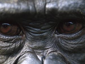 Bonobo Chimpanzees (Pan Paniscus) Close-Up of Eyes, Democratic Republic of the Congo by Cyril Ruoso