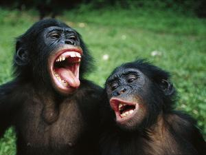 Bonobo or Pygmy Chimpanzee (Pan Paniscus) Juvenile Pair Making Funny Faces by Cyril Ruoso
