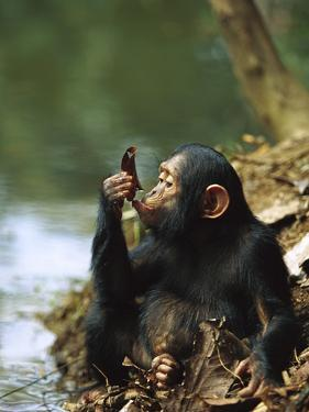 Chimpanzee (Pan Troglodytes) Young Using a Leaf to Drink, Gabon by Cyril Ruoso