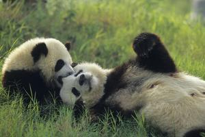 Giant Panda (Ailuropoda Melanoleuca) Mother And Young Playing, Captive, Sichuan, China. Non-Ex by Cyril Ruoso