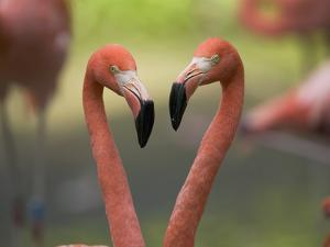 Greater Flamingo (Phoenicopterus Ruber) Pair by Cyril Ruoso