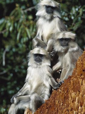 Grey or Common Langur (Semnopithecus Entellus) Trio in the Himalayan Mountains by Cyril Ruoso