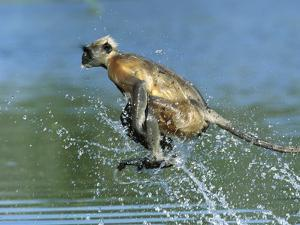 Hanuman or Grey or Common Langur (Semnopithecus Entellus) Crossing a River, India by Cyril Ruoso