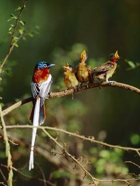 Madagascar Paradise Flycatcher (Terpsiphone Mutata) Male Rufous Morph Feeding Fledglings by Cyril Ruoso