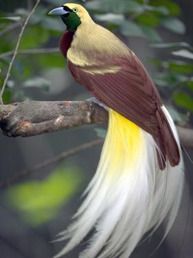 Raggiana Bird of Paradise (Paradisaea Raggiana), Native to Papua New Guinea by Cyril Ruoso