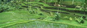 Rice (Oryza Sativa) Paddy in the Ubud Area, Bali, Indonesia by Cyril Ruoso