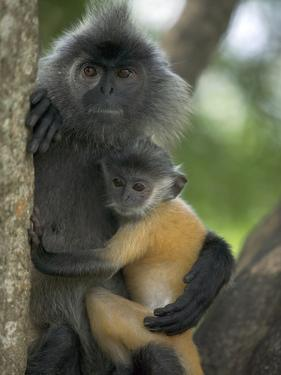 Silvered Leaf Monkey (Trachypithecus Cristatus) Female Holding Young by Cyril Ruoso