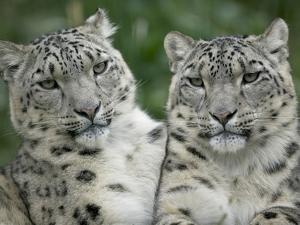 Snow Leopard (Uncia Uncia) Pair Sitting Together, Endangered, Native to Asia and Russia by Cyril Ruoso