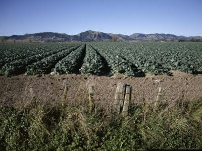 Fields of Broccoli in Agricultural Area, Gisborne, East Coast, North Island, New Zealand