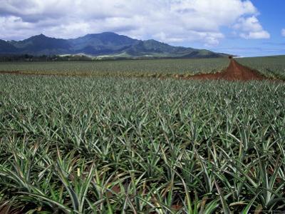 Fields of Pineapples Owned by Delmonte, Oahu, Hawaiian Islands, USA
