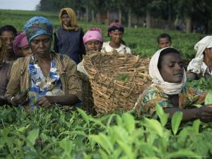 Picking Tea on a Plantation, Bonga Forest, Ethiopia, Africa by D H Webster