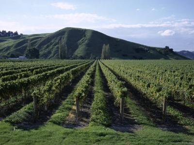Rows of Vines in Vineyard, Gisborne, East Coast, North Island, New Zealand
