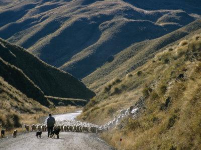 Shepherd Herding Flock of Sheep Through Mountain Pass, Glenorchy, South Island, New Zealand