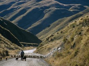 Shepherd Herding Flock of Sheep Through Mountain Pass, Glenorchy, South Island, New Zealand by D H Webster