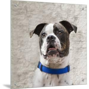 American Bulldog with a Blue Collar by D.M.